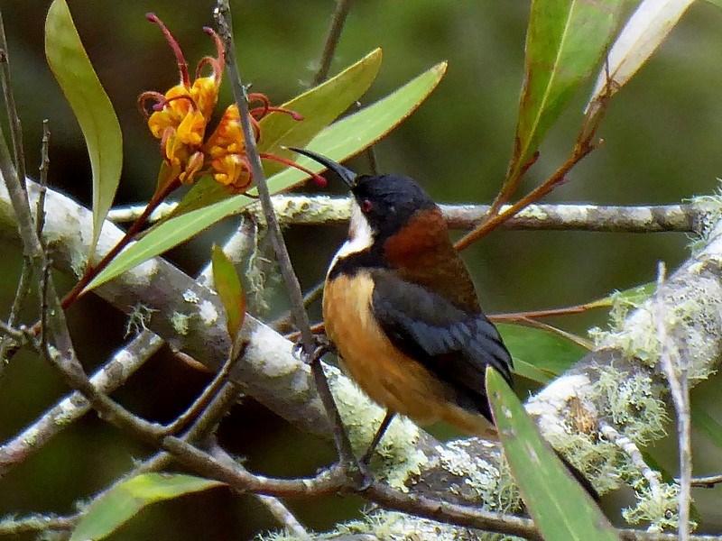 Acanthorhynchus tenuirostris at Brogo, NSW - 10 Oct 2018