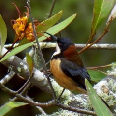 Acanthorhynchus tenuirostris (Eastern Spinebill) at Brogo, NSW - 10 Oct 2018 by MaxCampbell