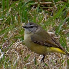Acanthiza chrysorrhoa (Yellow-rumped Thornbill) at Brogo, NSW - 10 Oct 2018 by MaxCampbell