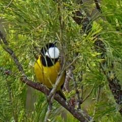 Pachycephala pectoralis at Brogo, NSW - 10 Oct 2018