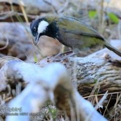 Psophodes olivaceus (Eastern Whipbird) at Ulladulla - Warden Head Bushcare - 6 Oct 2018 by CharlesDove