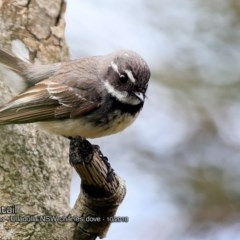 Rhipidura albiscapa (Grey Fantail) at Coomee Nulunga Cultural Walking Track - 6 Oct 2018 by Charles Dove