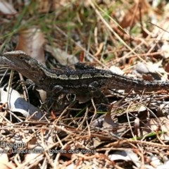 Amphibolurus muricatus (Jacky Lizard) at One Track For All - 2 Oct 2018 by Charles Dove