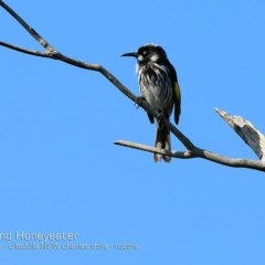 Phylidonyris novaehollandiae (New Holland Honeyeater) at Coomee Nulunga Cultural Walking Track - 7 Oct 2018 by CharlesDove
