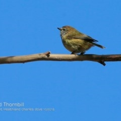 Acanthiza lineata (Striated Thornbill) at Wairo Beach and Dolphin Point - 2 Oct 2018 by CharlesDove