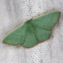 Prasinocyma semicrocea (Common Gum Emerald) at O'Connor, ACT - 8 Oct 2018 by ibaird