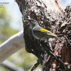 Phylidonyris pyrrhopterus (Crescent Honeyeater) at Morton National Park - 19 Mar 2013 by Charles Dove