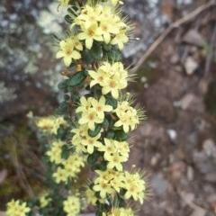 Phebalium squamulosum subsp. ozothamnoides (Alpine phebalium, Scaly phebalium) at Molonglo Gorge - 10 Oct 2018 by purple66