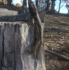Pogona barbata (Eastern Bearded Dragon) at Red Hill Nature Reserve - 8 Oct 2018 by KL