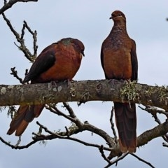 Macropygia (Macropygia) amboinensis (Brown Cuckoo-dove) at Brogo, NSW - 10 Oct 2018 by MaxCampbell