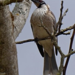 Philemon corniculatus (Noisy Friarbird) at Brogo, NSW - 11 Oct 2018 by MaxCampbell