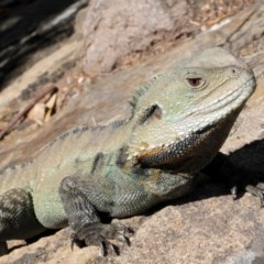 Intellagama lesueurii (Eastern Water Dragon) at ANBG - 9 Sep 2018 by PeteWoodall