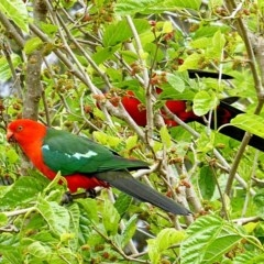 Alisterus scapularis (Australian King-parrot) at Brogo, NSW - 10 Oct 2018 by MaxCampbell
