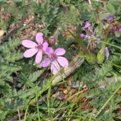 Erodium cicutarium (Common Storksbill, Common Crowfoot) at Jerrabomberra Wetlands - 10 Sep 2018 by PeteWoodall