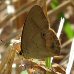 Hypocysta metirius (Brown Ringlet) at Corunna, NSW - 9 Oct 2018 by RobParnell