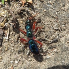 Diamma bicolor (Blue 'ant') at Mystery Bay, NSW - 8 Oct 2018 by RobParnell