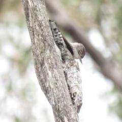 Daphoenositta chrysoptera (Varied Sittella) at Mount Majura - 12 Oct 2018 by KumikoCallaway