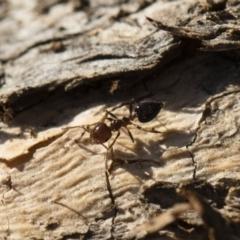 Crematogaster sp. (genus) at Michelago, NSW - 21 Jun 2018