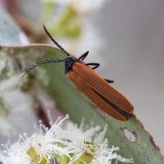 Porrostoma rhipidium (Long-nosed Lycid (Net-winged) beetle) at Michelago, NSW - 26 Oct 2017 by Illilanga