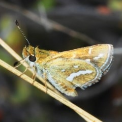 Taractrocera papyria (White-banded Grass-dart) at Tuggeranong Hill - 13 Oct 2018 by Harrisi