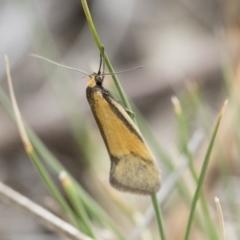 Philobota undescribed species near arabella at Michelago, NSW - 13 Oct 2018