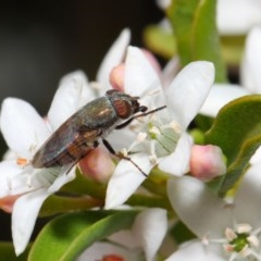 Stomorhina sp. (genus) (Snout fly) at ANBG - 13 Oct 2018 by TimL