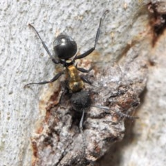 Polyrhachis semiaurata (A golden spiny ant) at ANBG - 13 Oct 2018 by TimL