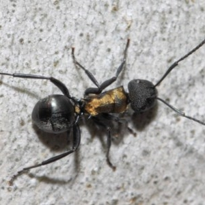Polyrhachis semiaurata at ANBG - 13 Oct 2018