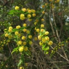 Acacia paradoxa (Acacia Hedge) at Mogo State Forest - 9 Oct 2018 by JackieMiles