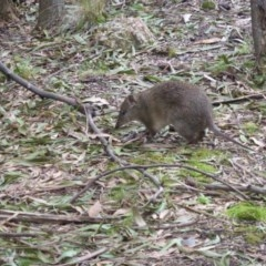 Isoodon obesulus (Southern Brown Bandicoot) at Tidbinbilla Nature Reserve - 22 Aug 2016 by simonstratford