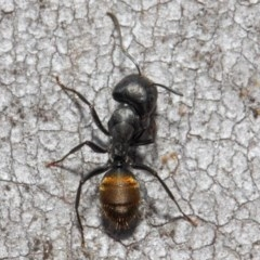 Camponotus aeneopilosus (A Golden-tailed sugar ant) at ANBG - 13 Oct 2018 by TimL