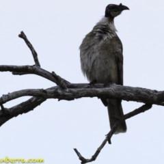 Philemon corniculatus (Noisy Friarbird) at Callum Brae - 10 Oct 2018 by BIrdsinCanberra