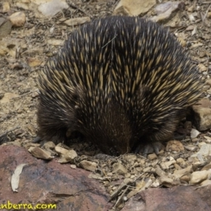 Tachyglossus aculeatus at ANBG - 11 Oct 2018