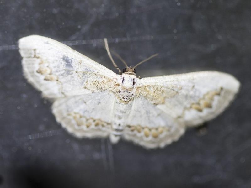 Dithalama cosmospila at Michelago, NSW - 2 Oct 2018