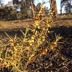Daviesia genistifolia (Broom Bitter Pea) at Gundaroo, NSW - 8 Oct 2018 by MPennay