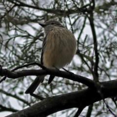 Pachycephala rufiventris (Rufous Whistler) at Jerrabomberra Wetlands - 14 Oct 2018 by RodDeb