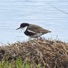 Erythrogonys cinctus (Red-kneed Dotterel) at Jerrabomberra Wetlands - 14 Oct 2018 by RodDeb