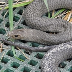 Pseudonaja textilis (Eastern Brown Snake) at Jerrabomberra Wetlands - 14 Oct 2018 by RodDeb