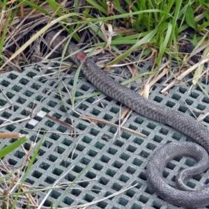 Pseudonaja textilis at Jerrabomberra Wetlands - 14 Oct 2018