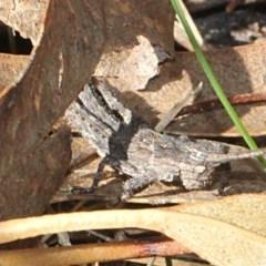 Coryphistes ruricola (Bark grasshopper) at Tidbinbilla Nature Reserve - 13 Sep 2018 by PeteWoodall