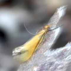 Philobota sp near arabella (A concealer moth) at Ainslie, ACT - 14 Oct 2018 by jbromilow50
