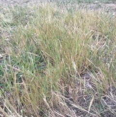 Vulpia bromoides (Squirrel Tail Fescue) at Griffith Woodland - 15 Oct 2018 by ianandlibby1