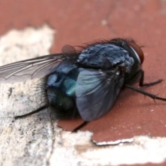 Calliphora sp. (genus) (Unidentified blowfly) at Ainslie, ACT - 13 Oct 2018 by jbromilow50