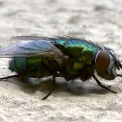Lucilia cuprina (Australian sheep blowfly) at Ainslie, ACT - 15 May 2018 by jbromilow50