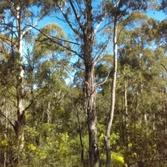 Eucalyptus viminalis (Ribbon Gum) at Tidbinbilla Nature Reserve - 13 Sep 2018 by PeteWoodall