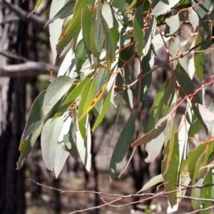 Eucalyptus macrorhyncha at Mulligans Flat - 14 Sep 2018