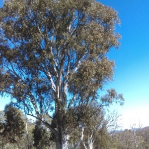 Eucalyptus mannifera at Mulligans Flat - 14 Sep 2018