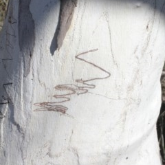 Eucalyptus rossii (Inland Scribbly Gum) at Mulligans Flat - 14 Sep 2018 by PeteWoodall