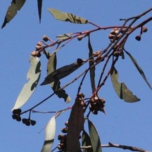 Eucalyptus rossii at Mulligans Flat - 14 Sep 2018