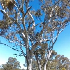 Eucalyptus melliodora (Yellow Box) at Mulligans Flat - 14 Sep 2018 by PeteWoodall